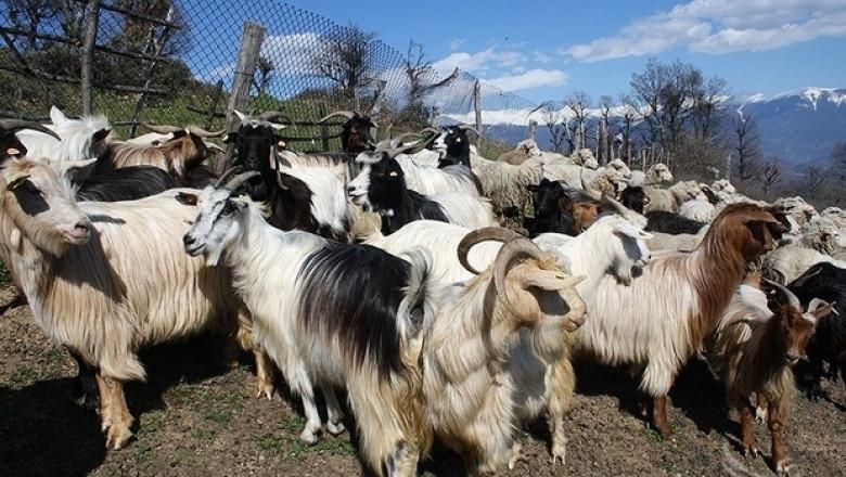Автохтонни породи кози и овце показват на изложение утре