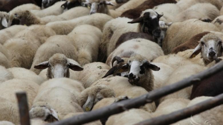 Пазарите за живи животни в Пловдивско остават затворени заради шарка по овце и кози