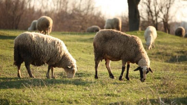 НОА: Има преведени субсидии за овце и кози