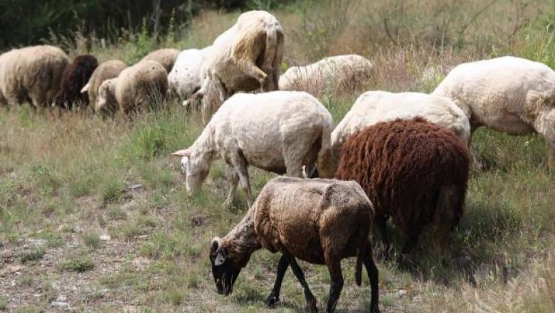 Алжир има интерес към внос на българско месо, мляко и семена