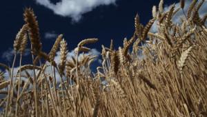 НАЗ: Обратното начисляване на ДДС за зърното пада на гърба на фермерите! - Agri.bg