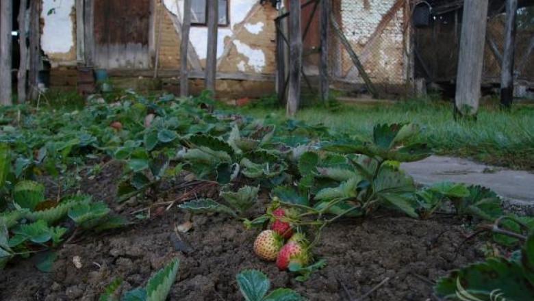 В Япония показаха роботи - берачи на ягоди