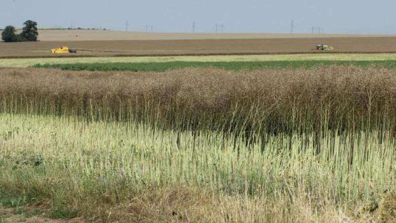 12 000 тона с рапица реколтираха в Ловешко