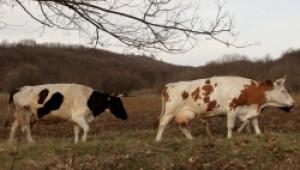 Утре в Елхово ще обсъждат бъдещето на млечните ферми и проблемите с шапа - Agri.bg