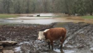 Наводненията в Кърджалийско наводнили десетки незаконни кравеферми - Agri.bg