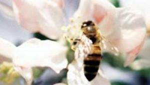 Европейската комисия призна най-сетне за проблема с измирането на пчелите