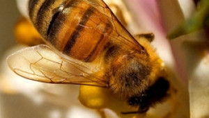 От вчера започна приемът на заявления за подпомагане по Националната програма по пчеларство за 2009 г.