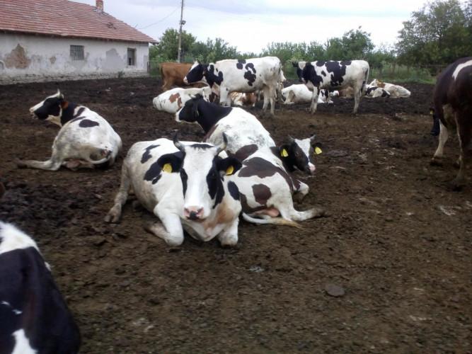 продавам 70 крави - Снимка 3