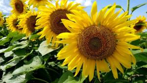Основни заболявания по слънчогледа