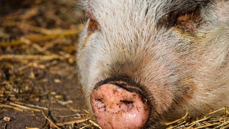 Паника: Стопанин укрил болна от чума свиня и захвърлил трупа й