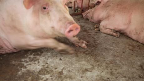 Ветеринарни специалисти пристигат в Добрич заради АЧС