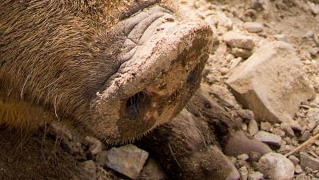 Африканската чума проникна и при домашните прасета в Търговище