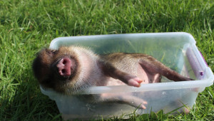 Проекти по места: Заповеди за умъртвяване на прасетата от задния двор