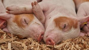 Чумата се разраства, порази четвърти свинекомплекс - в Попина, Силистренско