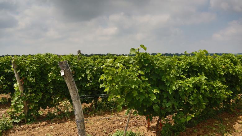 Прогноза: От 20 до 50% по-ниски добиви от грозде в Русенско