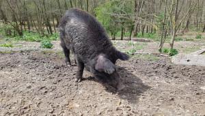 Нов пробив на чумата: Вирусът порази пасищни свине в Смядово