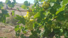 Продавам грозде мерло,памид и каберне Брестовица - Снимка 8