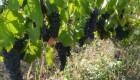 Продавам грозде Сира, Мерло, Каберне Совиньон и Мавруд - Снимка 1