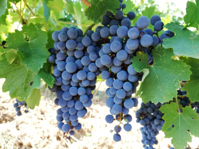 Продавам грозде Сира, Мерло, Каберне Совиньон и Мавруд - Снимка 2