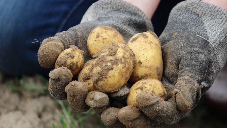 Фермерите очакват малко по-добра реколта от картофи
