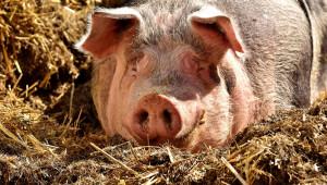 Пазарът на свине е стабилен с тенденция към поскъпване