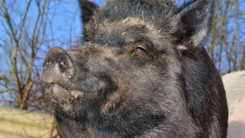 Чумата не подмина и дивите свине в Сандански