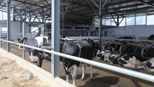 Крави си чакат реда за роботно доене в ямболска ферма
