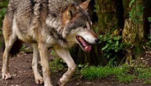 Вълци нападат стада в района на Сакар