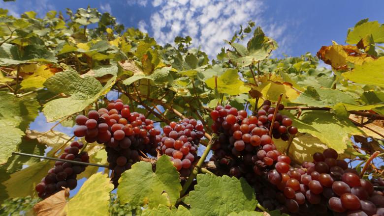 Заради сухото време – по-слаба винена реколта