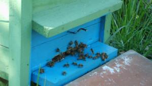 Отпускат 4,5 млн. лева de minimis за пчеларите - Agri.bg