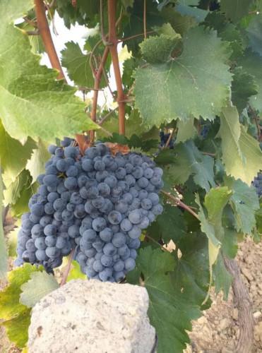 Продавам грозде - Снимка 2