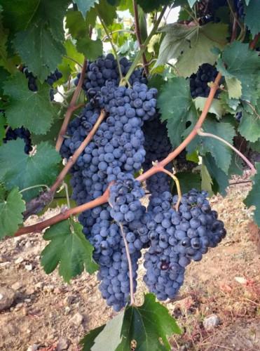 Продавам грозде - Снимка 3
