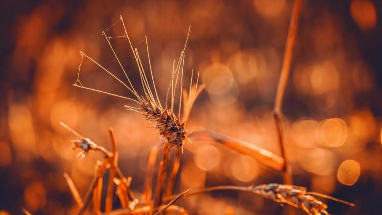 Румъния изнася пшеница с рекордно темпо