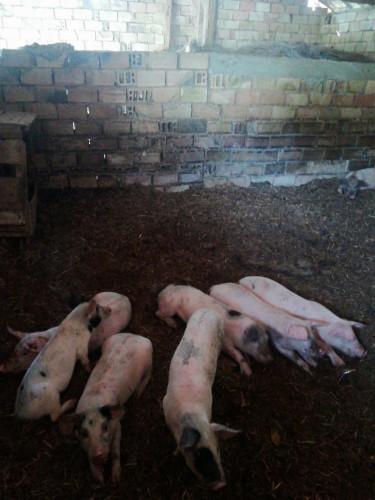 Продавам прасета - Снимка 4