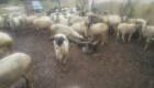 Продавам овце - Снимка 3