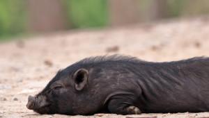 Мъртво диво прасе насред морския бряг на Балчик