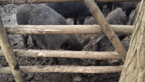 Чумата продължава да погубва източнобалканската свиня