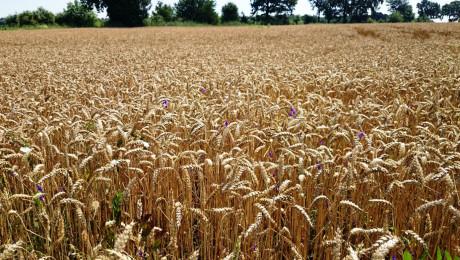 Сеитбата на пшеница ще продължи!