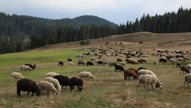 Родопска ферма си позволява лукса да остави кашкавала да зрее две години