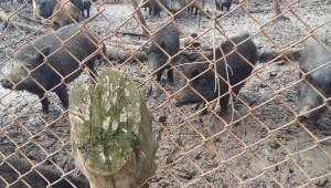 Източнобалканската свиня – ще я опазим ли от чумата?