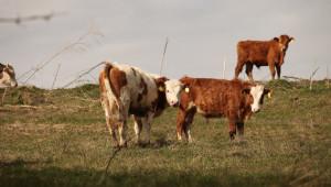Тенденция: Месодайното говедовъдство у нас набира сили