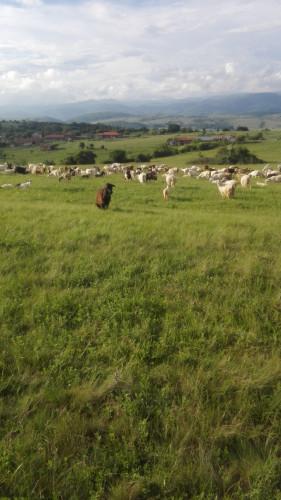 ЕЛИТНИ МЛАДО СТАДО 250 БР.  МЛЕЧНИ  кози започват да раждат  спешно! - Снимка 2