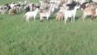 ЕЛИТНИ МЛАДО СТАДО 250 БР.  МЛЕЧНИ  кози започват да раждат  спешно! - Снимка 3