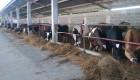 Продавам 9 доятни крави - Снимка 1