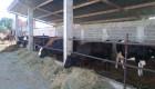 Продавам 9 доятни крави - Снимка 3