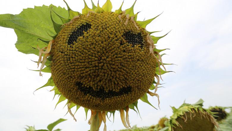 Прогнозират 5% по-високи цени на слънчогледа на годишна база в идните месеци