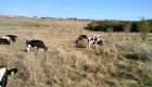 Продавам месодайни телета и млечни юници - Снимка 2