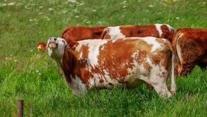 Как честотата на хранене подобрява здравето на кравите? - Agri.bg