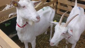 Плащат схемата за обвързано подпомагане за овце-майки и кози-майки под селекция - Agri.bg