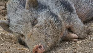 Пет нови случая на чума по свинете, вирусът стигна до Драгоман - Agri.bg